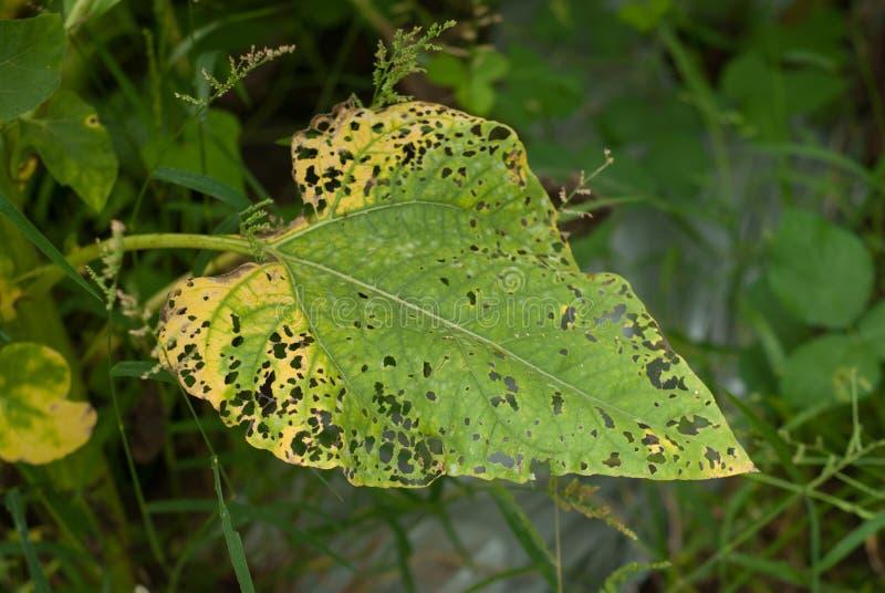 在年轻向日葵叶子的损伤  免版税库存照片