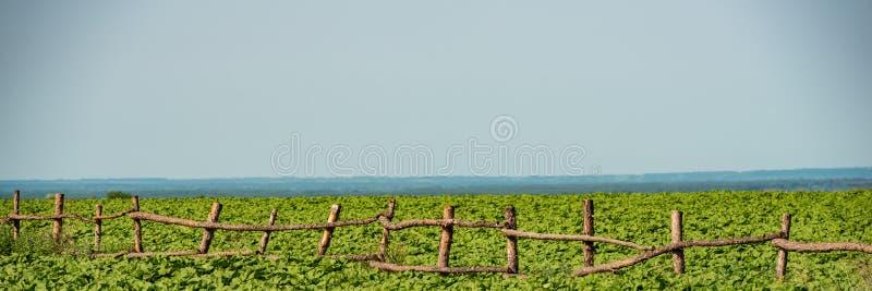 在年轻向日葵的领域的木老篱芭在一好日子 免版税库存照片