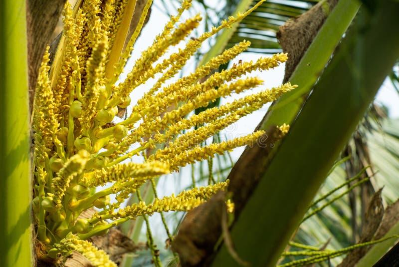在年轻新鲜的椰子新芽花的选择聚焦在树的 免版税库存图片