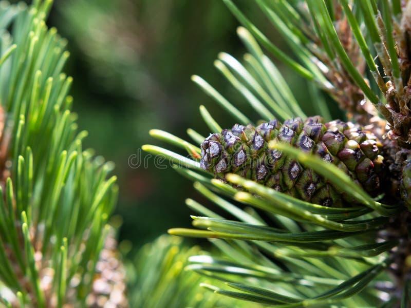 在年轻杉木锥体的特写镜头由新鲜的杉木针围拢了 库存照片