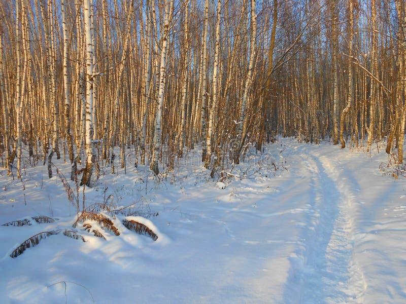 在年轻桦树的冬天晚上增长与道路 库存图片