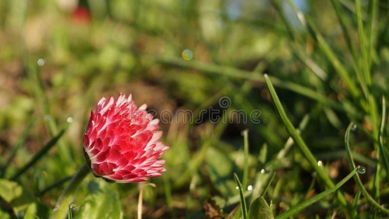在年轻绿草背景的明亮的红色花  免版税库存图片