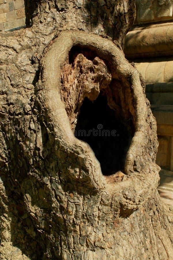 在年迈的罗望子树词根的树孔 免版税库存图片