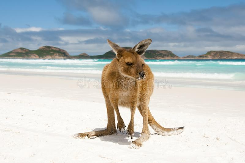 在幸运的海湾的袋鼠 免版税库存图片