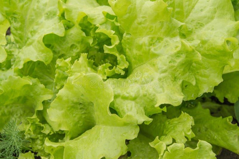 在床上的年轻莴苣叶子 在开放地面的增长的菜 有机健康食品素食的概念 免版税图库摄影