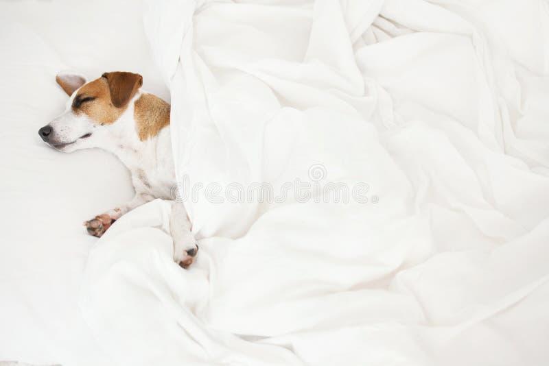 在床的睡觉狗 图库摄影