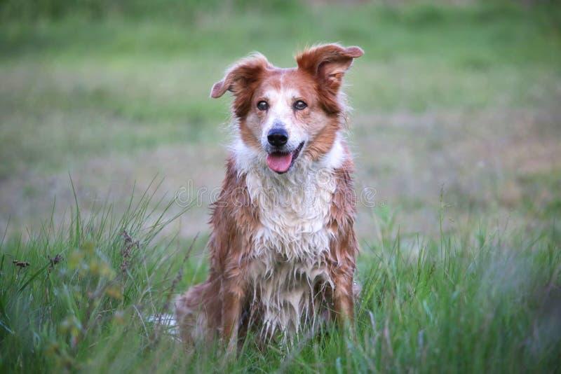 在床铺的湿,红色狗 库存照片
