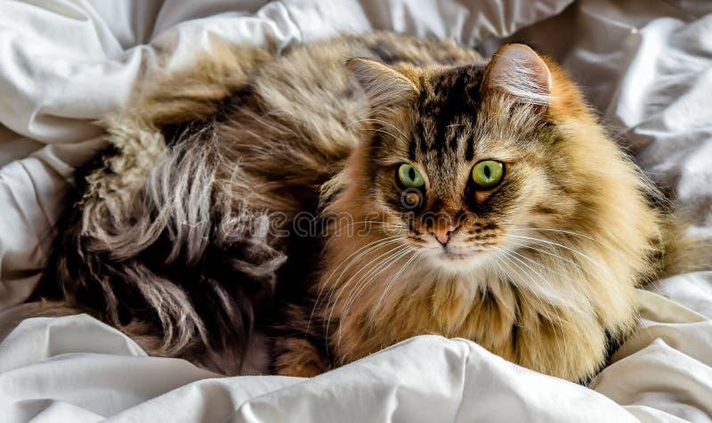 在床(颜色)上的西伯利亚猫 免版税库存照片