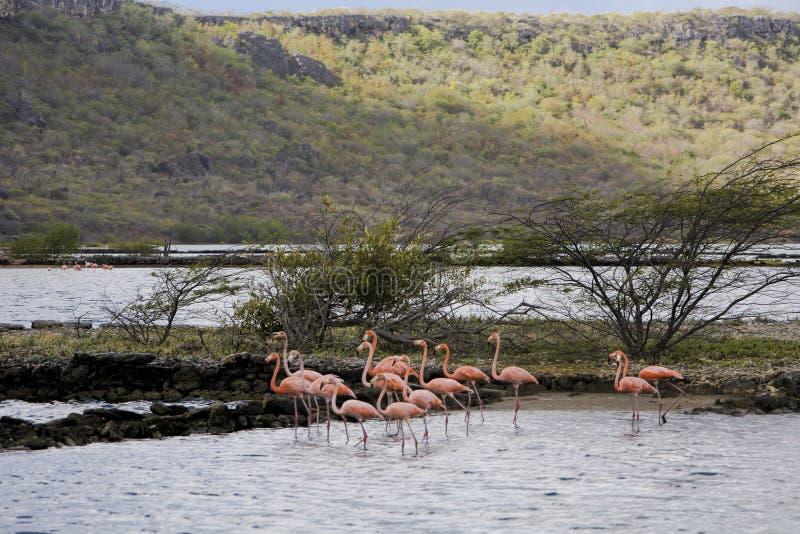 在库拉索岛的火鸟 图库摄影