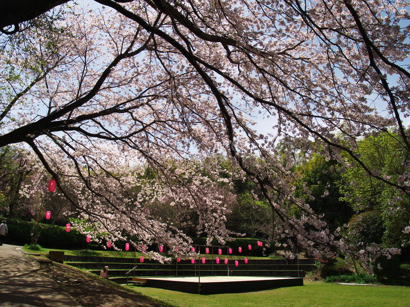 在废墟新井城堡的樱花 免版税图库摄影