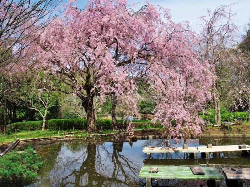 在废墟新井城堡的樱花 库存照片