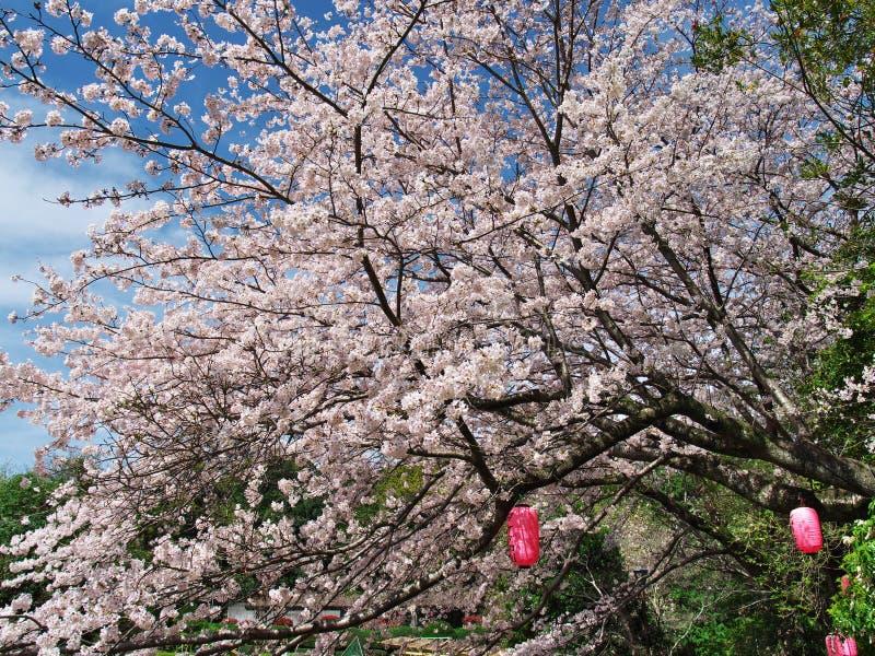 在废墟新井城堡的樱花 免版税库存图片