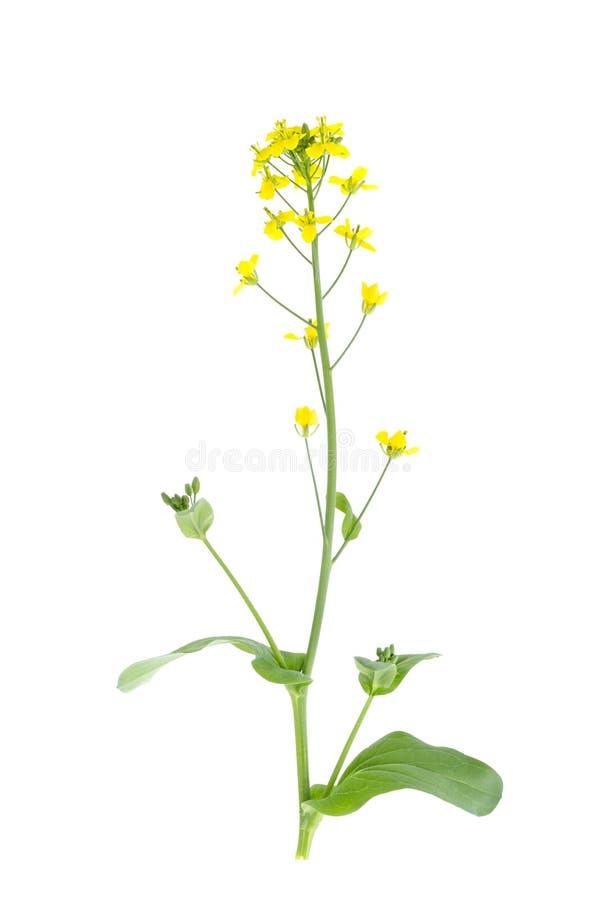 在庭院圆白菜词根的黄色花  免版税库存照片