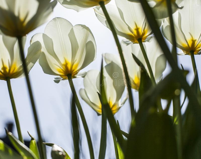 在庭院在一个晴天-反对蓝天的白色郁金香里 库存图片