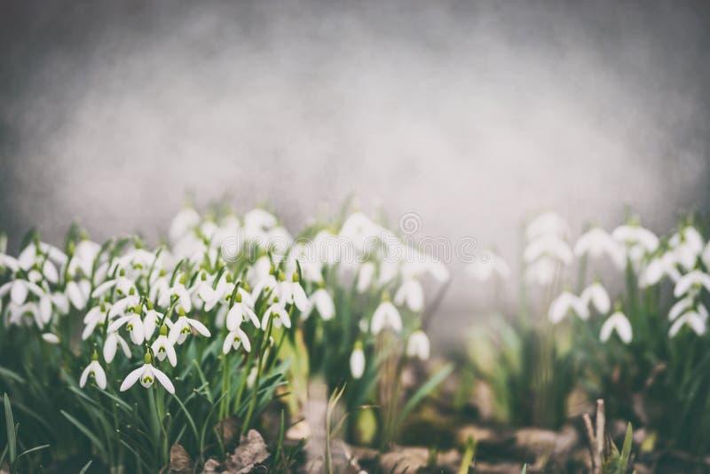 在庭院床上的俏丽的snowdrops,室外 美丽的欧洲花可以本质onobrychis pratensis salvia春天viciifolia 免版税库存照片