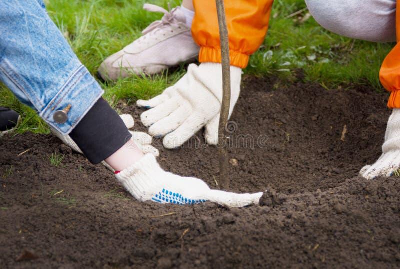 在庭院手套的人的手在公园种植了一棵树并且埋没了在地面的一个孔 库存照片