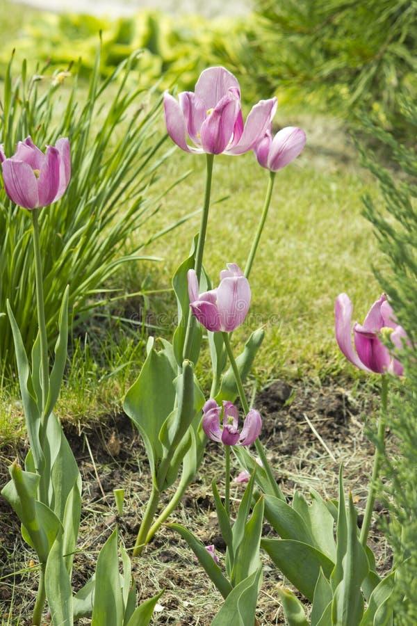 在庭院春天花的美丽的桃红色郁金香 免版税库存照片