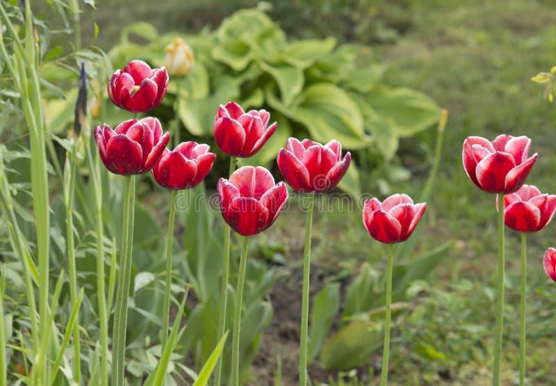在庭院春天花的美丽的红色郁金香 免版税库存照片