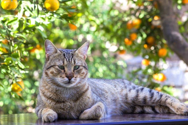 在庭院桌上的虎斑猫 免版税图库摄影