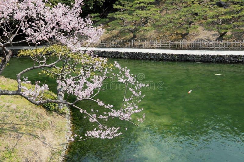 在庭院池塘旁边的开花的樱桃 免版税图库摄影