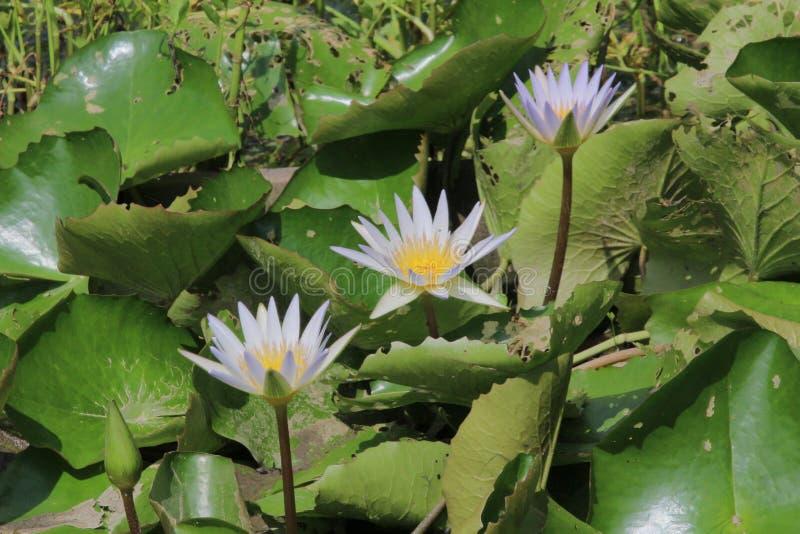 在庭院池塘的莲花在夏天 库存照片