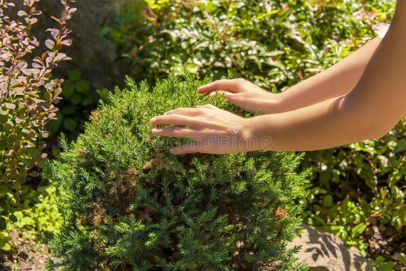 在庭院灌木的手 库存图片
