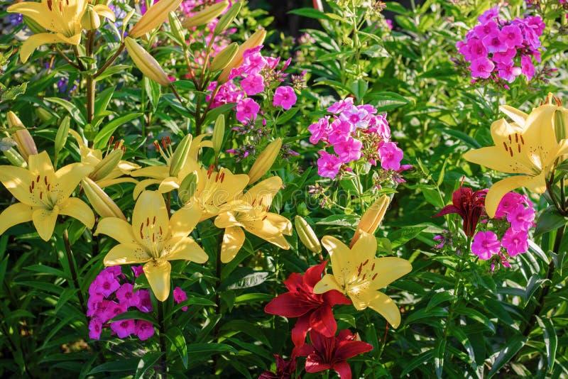 在庭院特写镜头、百合和福禄考特写镜头的很多夏天花在开花的季节 库存照片
