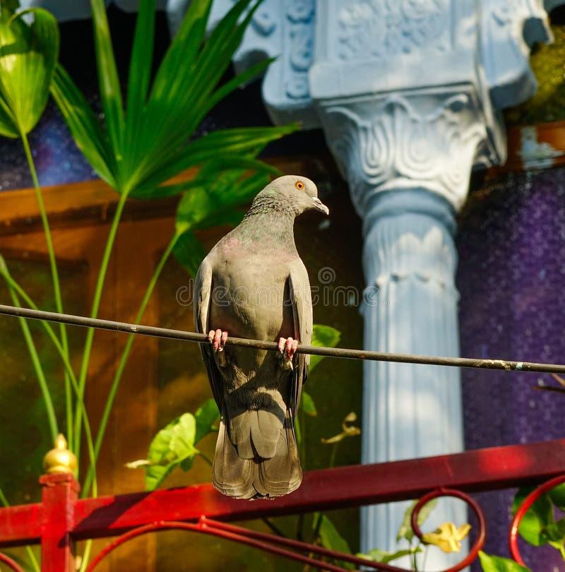 在庭院的一个鸠鸽子身分 免版税库存图片