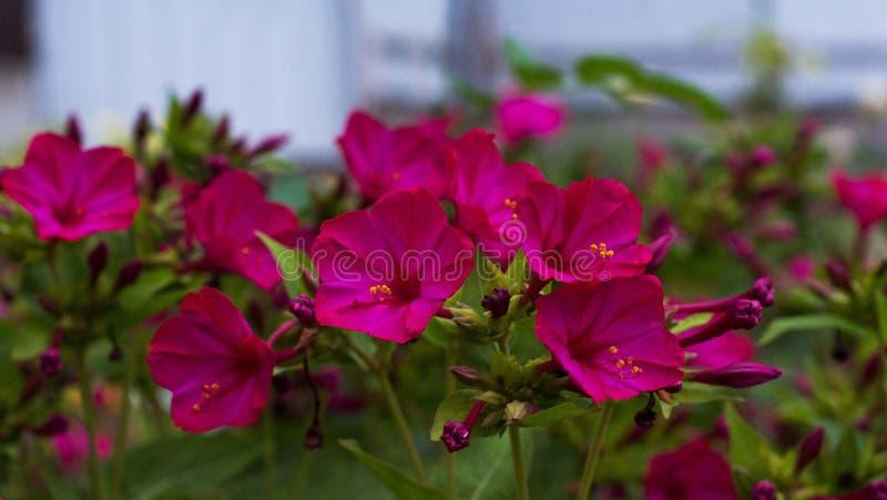 在庭院的明亮的桃红色九重葛花 库存图片