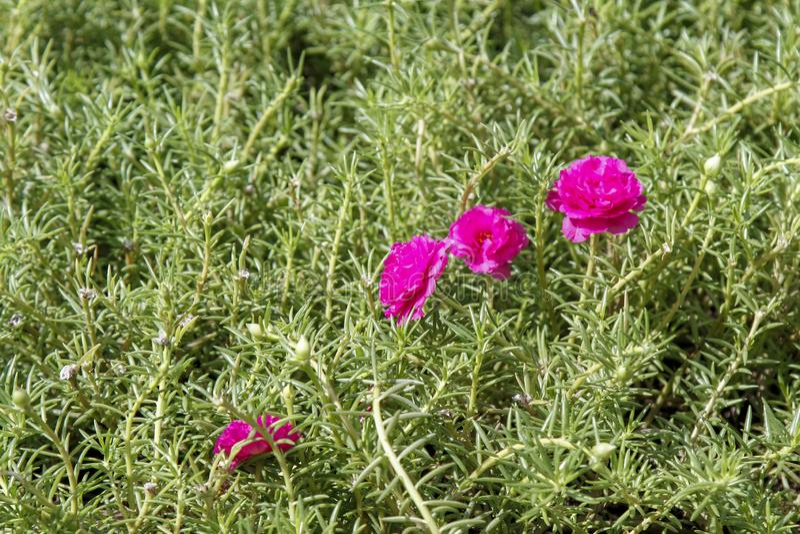 在庭院的桃红色共同的歼击机杀死花自然背景的 库存照片