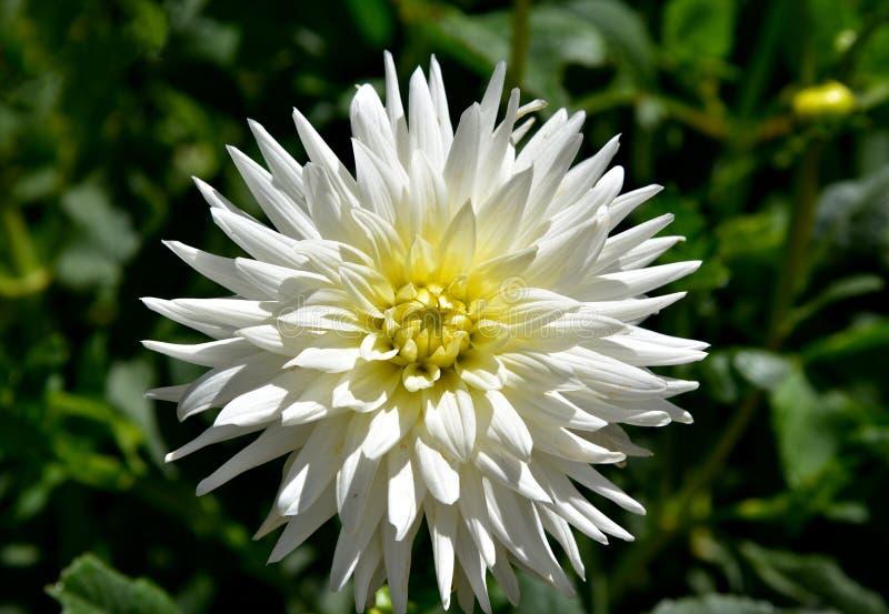 在庭院的灿烂的大丽花 免版税库存图片