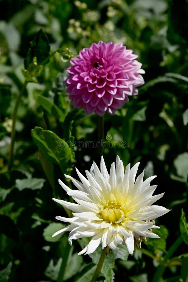 在庭院的灿烂的大丽花 图库摄影