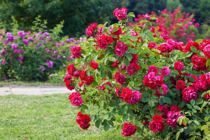 在庭院的玫瑰丛 图库摄影