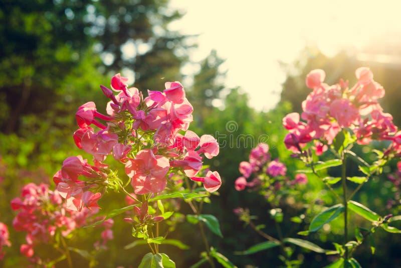 在庭院的生动的桃红色花 库存照片