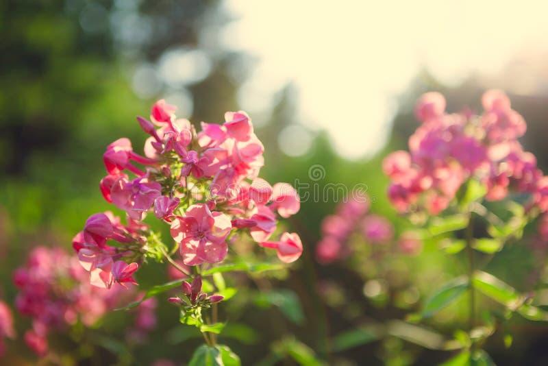 在庭院的生动的桃红色花 免版税库存图片