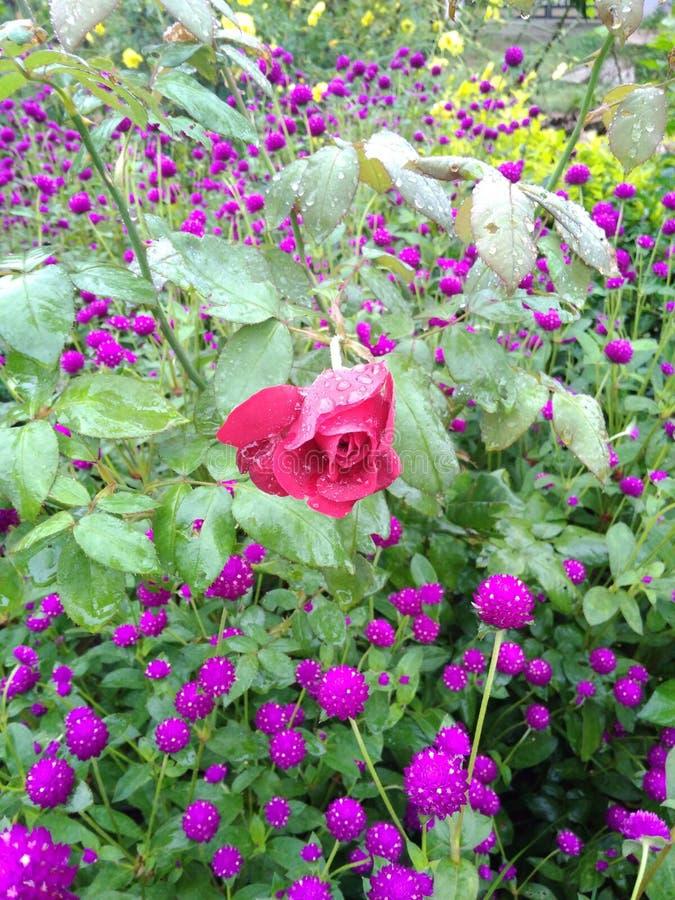 在庭院的美丽的花 库存图片