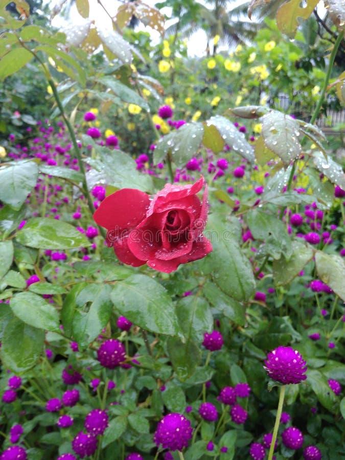 在庭院的美丽的花 免版税库存照片