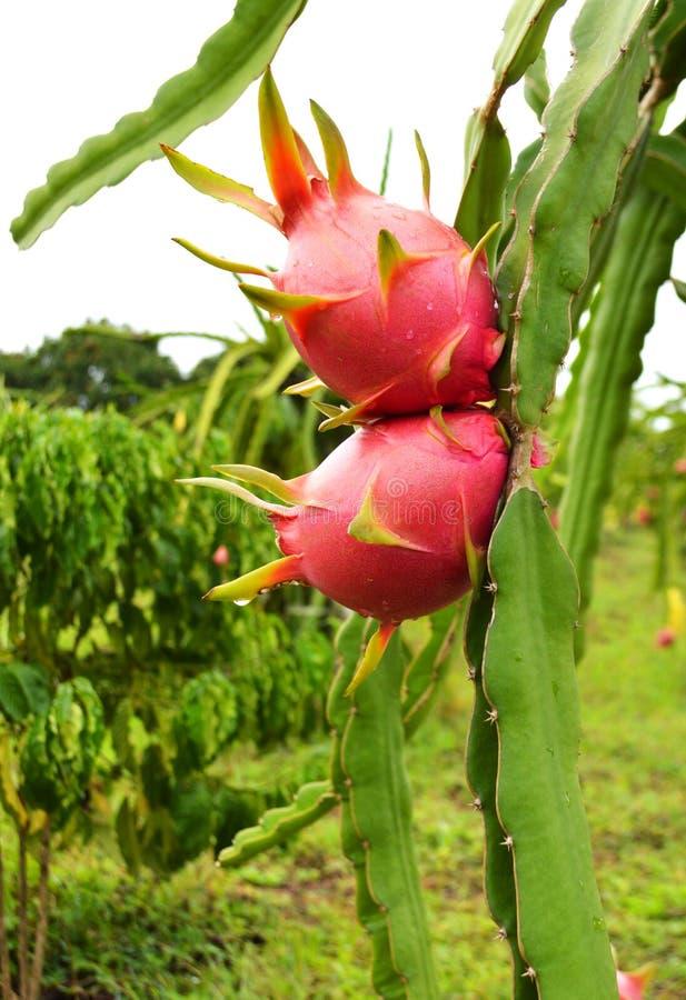 在庭院的龙果子 免版税图库摄影