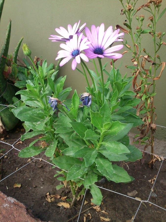 在庭院的紫罗兰色花 免版税库存图片