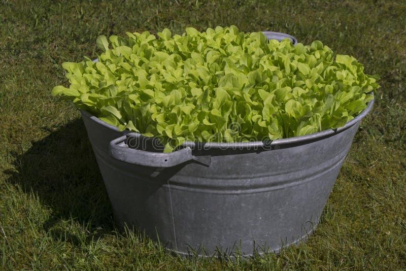 在庭院碗的莴苣在草 免版税库存照片