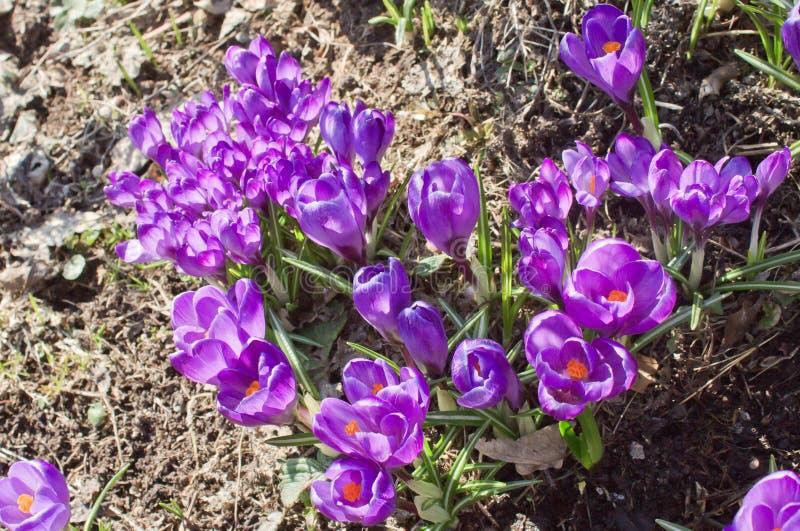 在庭院花圃的美丽的春天花番红花 免版税库存图片
