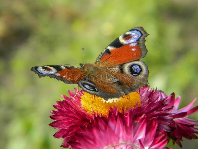 在庭院花的蝴蝶 图库摄影