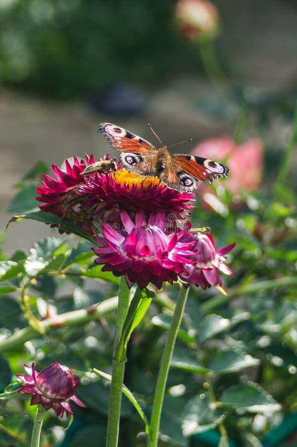 在庭院花的蝴蝶 免版税库存图片