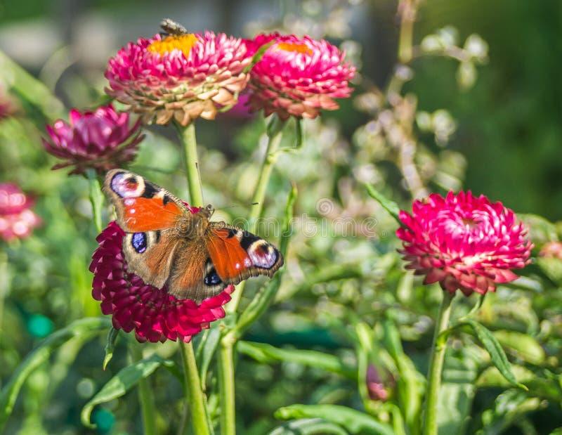 在庭院花的蝴蝶 库存图片