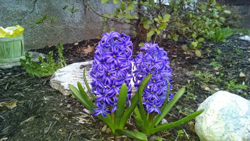 在庭院蓝紫色的风信花 库存照片