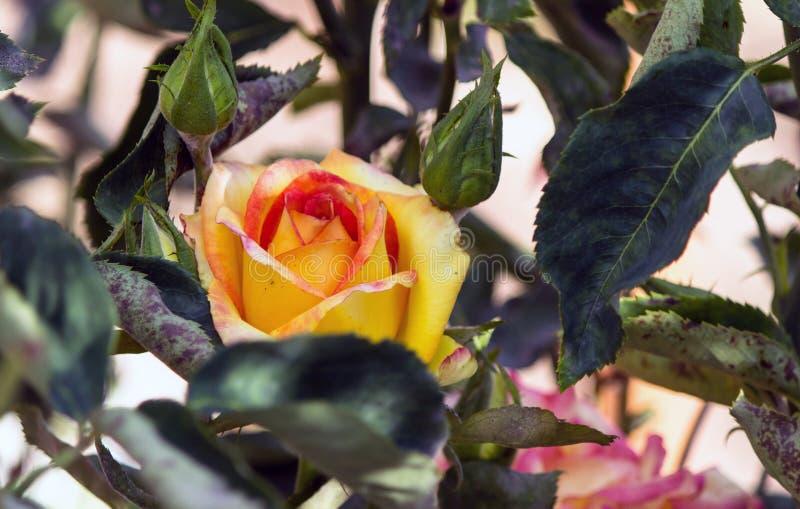 在庭院里开花开花在伊朗,花玫瑰 图库摄影