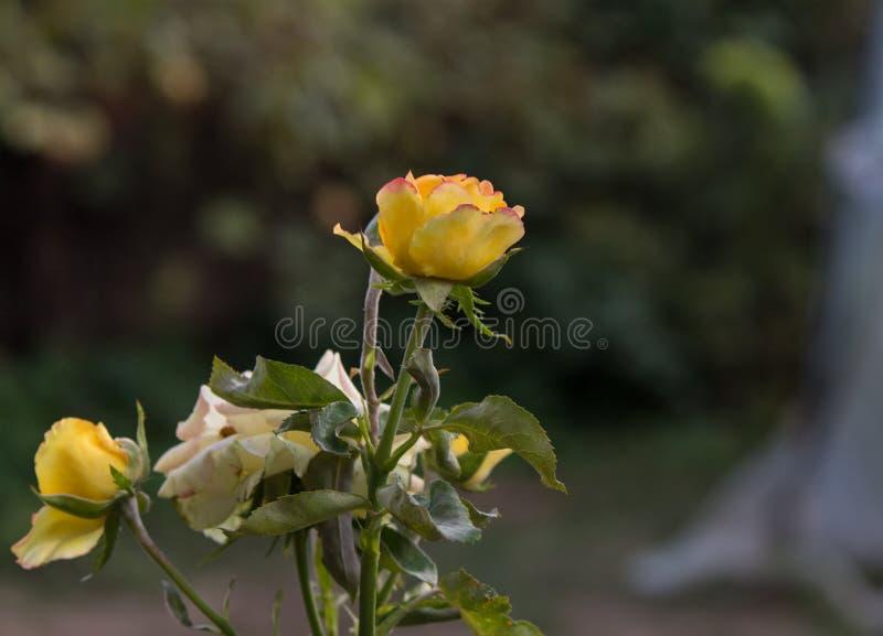 在庭院里开花开花在伊朗,花玫瑰 免版税库存照片