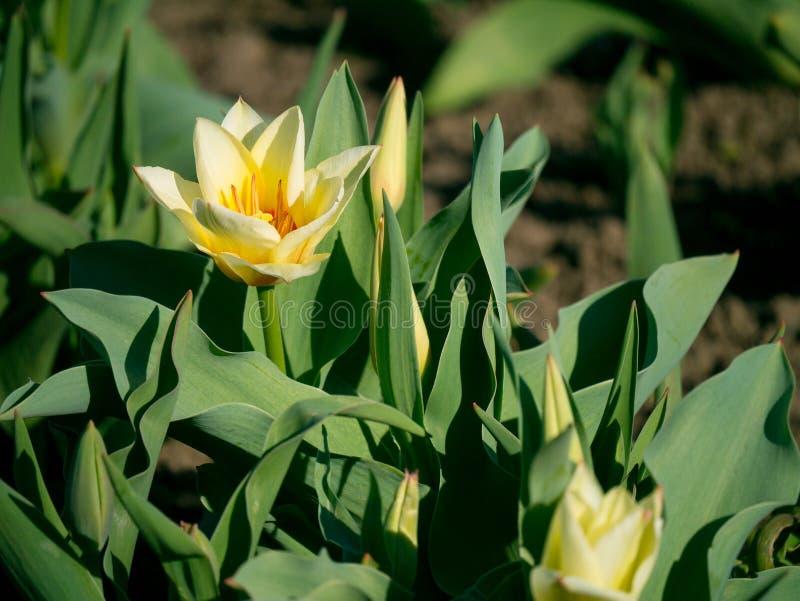 在庭院里开花芽围拢的美丽的黄色郁金香o 免版税库存照片