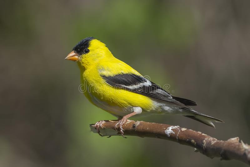 在庭院里栖息的公美国金翅雀 免版税库存照片