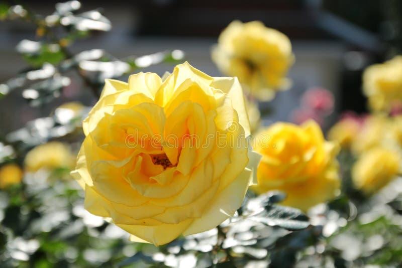 在庭院里观看美丽的黄色玫瑰花 图库摄影